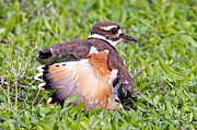Killdeer Prints - Killdeer 2 Sleight of Wing Print by Gary Holmes