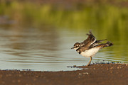 Killdeer Photos - Killdeer fluffing up by Bryan Keil