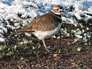Killdeer Photos - Killdeer in snow by Steven Parker