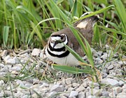 John Dart - Killdeer on Nest