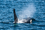 British Columbia Posters - Killer Whale in the wild Poster by Puget  Exposure