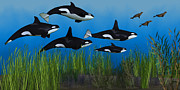Corey Ford Framed Prints - Killer Whale Pod Framed Print by Corey Ford