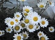 Suzanne Perry - Kindergarten daisies