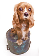 Spaniel Prints - King Charles Spaniel Puppy Print by Edward Fielding