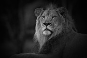 Black Cat Photos Photos - King in Monochrome by Adrian Tavano