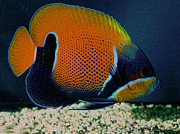 Salt Water Fish Prints - King Majestic angel fish Print by Roberto Cortes