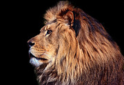 Felines Photos - King of Beast by Marcia Colelli