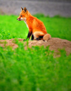 Fox Photos - King of The Den by Emily Stauring
