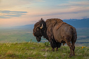 Bison Photos - King of the HIll by Mark Mesenko
