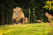 King Of The Jungle Prints - King of the Jungle Print by Keith Allen
