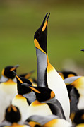 Seabirds Photos - King Penguin Aptenodytes Patagonicus by Luciano Candisani