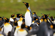 Seabirds Posters - King Penguin Colony Poster by Luciano Candisani