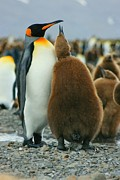 Kp Framed Prints - King Penguin Feeding Chick Framed Print by Amanda Stadther