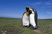Kevin Schafer - King Penguins