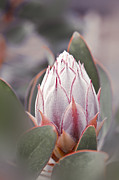 Bracts Prints - King Protea - Protea cynaroides Kula Maui Hawaii Print by Sharon Mau