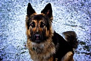 Frank J  Casella - King Shepherd Dog