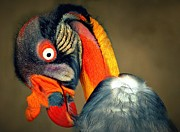 Bev  Brown - King Vulture