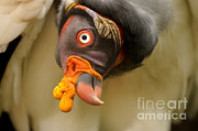 King Vulture Print by Mark Bowler