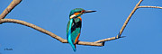 George Rossidis - Kingfisher 4