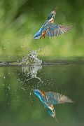 Kingfisher Prints - Kingfisher Print by Andy Astbury
