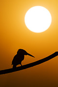 Silhouetted Metal Prints - Kingfisher Sunset Silhouette Metal Print by Tim Gainey