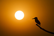 Silhouetted Metal Prints - Kingfisher Sunset Metal Print by Tim Gainey