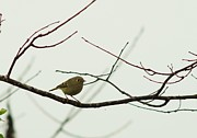 Ruby-crowned Kinglet Birds Photos - Kinglet in the Fog by Billy  Griffis Jr