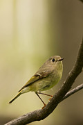 Ruby-crowned Kinglet Birds Photos - Kinglet by Pam Randolph