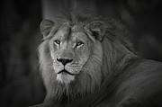 Masai Mara Prints - Kings Attention Print by Adrian Tavano