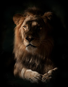 African Lion Prints - Kings Eye Print by Adrian Tavano