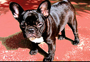 Quigley Framed Prints - Kings French Bulldog Framed Print by Ms Quiggly
