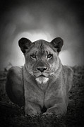 Lioness Framed Prints - Kings Queen Framed Print by Adrian Tavano