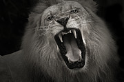 Masai Mara Prints - Kings Roar Print by Adrian Tavano