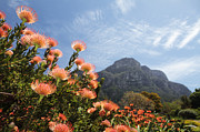 Pincushion Flower Prints - Kirstenbosch Print by Neil Overy