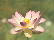White Lotus Posters - Kissed by the Sun - Lotus Flower Poster by Kim Hojnacki