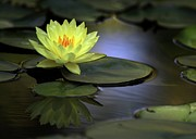 Water Lily Picture Prints - Kissed by the Sun Print by Sabrina L Ryan