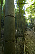 Bamboo Metal Prints - Kissing Bamboo Metal Print by Aaron S Bedell