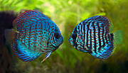 Fish Tank Framed Prints - Kissing Discus Fish Framed Print by Brandon Alms