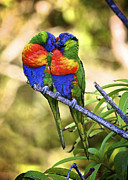 Australian Open Posters - Kissing Rainbow Lorikeets 8 Poster by Heng Tan