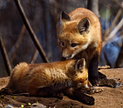 Fox Photos - Kit Foxes by Thomas Young