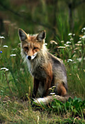 Bushy Tail Photos - Kit Red Fox by Robert Bales