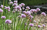 Edible Plant Prints - Kitchen Garden Chives Print by Teresa Mucha