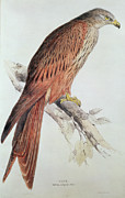 Perched Paintings - Kite by Edward Lear