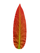 Sophisticated Posters - Kitsch leaf Poster by Sumit Mehndiratta