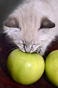 Susan Leggett Posters - Kitten and an Apple Poster by Susan Leggett