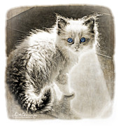 Kitten Prints Prints - Kitten backlite in the sunshine Print by Darlene Konieczny