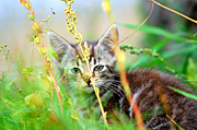 Frisky Photo Posters - Kitten in the grass Poster by Michal Bednarek