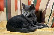 Kitten Print by James L. Amos