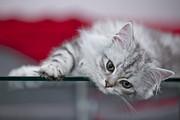 Kitten Print by Melanie Viola