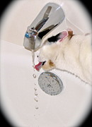 Faucet Posters - Kitty Likes Those Water Drops Poster by Phyllis Kaltenbach